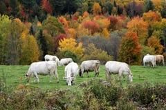 吃草与秋天风景的白色母牛 免版税库存图片
