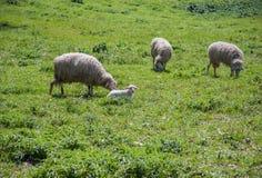 吃草与羊羔的三只绵羊 免版税图库摄影