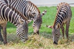吃草与被弄脏的领域的三匹斑马绿草在backgroun 免版税库存图片