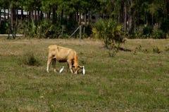 吃草与鸟的母牛 免版税库存图片