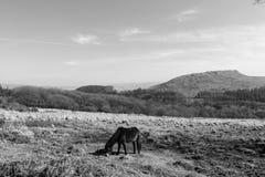 吃草与Sheepstor在背景中, Dartmoor,德文郡的Dartmoor小马 库存照片