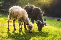 吃草两只的绵羊 库存照片