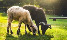 吃草两只的绵羊 免版税库存照片
