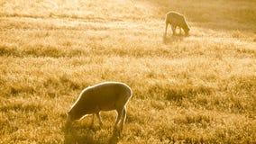 吃草两只的美利奴绵羊 免版税图库摄影