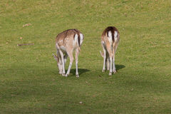 吃草两头母的小鹿 库存照片