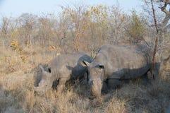 吃草两头的犀牛 免版税库存图片