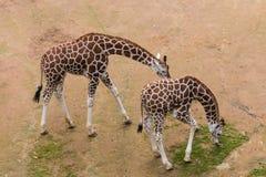 吃草两头长颈鹿的小牛 免版税库存照片