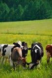 吃草佛蒙特的母牛 免版税库存图片