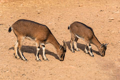 吃草克里特岛的野山羊 免版税库存图片