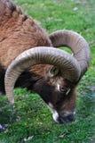 吃草公羊 免版税库存照片