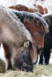 吃草冰岛语的马 免版税库存照片