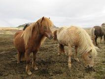 吃草冰岛马,几乎亲吻,美好的光和黑暗的夫妇 库存图片