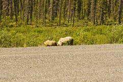 吃草北美灰熊的母猪和的崽 免版税库存图片