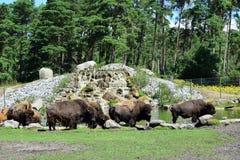 吃草北美野牛的家庭 库存图片