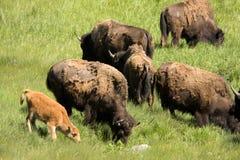 吃草北美野牛的小牛 免版税库存图片