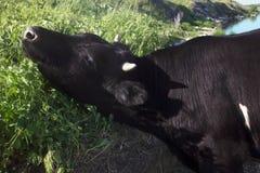 吃草和享受晴天的母牛 免版税图库摄影