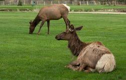 吃草和休息在Estes公园,科罗拉多的麋 库存图片