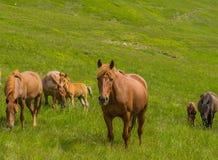 吃草和看照相机的马牧群 免版税库存照片