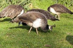 吃草哺养的野生动物的孔雀母孔雀飞鸟 免版税图库摄影