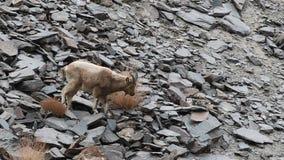 吃草喜马拉雅的高地山羊 影视素材