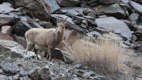 吃草喜马拉雅的高地山羊 股票录像