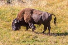 吃草国家公园黄石的北美野牛 图库摄影
