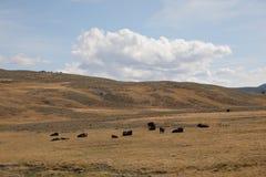 吃草国家公园黄石的水牛 免版税库存照片