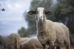 吃草土耳其的绵羊群  免版税库存图片