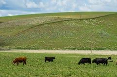 吃草在一个农村大农场的牛 图库摄影