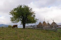 吃草在一个农村风景的母牛 免版税图库摄影