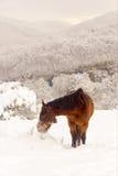 吃草在一个冬天早晨的红色马 免版税库存照片