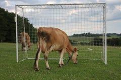 吃草在一个夏天的母牛吃草在橄榄球目标之间 免版税库存照片