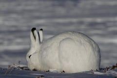 吃草在一个多雪的寒带草原的北极野兔 免版税库存照片