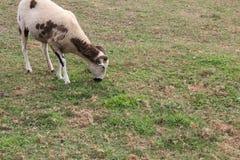 吃草在一个小牧场地的绵羊在门诺派中的严紧派的村庄 免版税库存照片