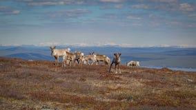 吃草在一个山腰的驯鹿牧群在有美好的远景的瑞典拉普兰在背景和一好奇小牛看中 免版税库存照片