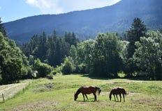 吃草在一个山草甸的两匹马在特伦托自治省 图库摄影