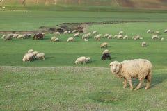 吃草在一个开放领域的绵羊群  免版税库存图片