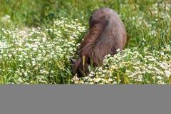 吃草在一个开花的草甸的小马 免版税库存图片