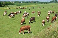 吃草在一个无忧无虑的早晨的母牛牧群  图库摄影