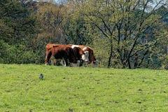 吃草在一个有机农场的草甸的三头母牛 免版税库存图片