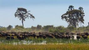 吃草在一个水坑,奥卡万戈三角洲奥卡万戈草原,博茨瓦纳,西南非洲的水牛牧群 免版税库存图片