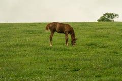 吃草在一个绿色牧场地的一匹棕色马的图象 免版税库存照片