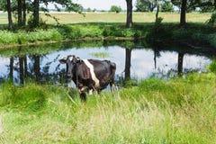 吃草在一个绿色牧场地的霍尔斯坦黑白花的母牛 免版税库存照片
