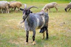 吃草在一个绿色草甸的土气山羊 免版税库存照片