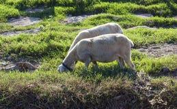 吃草在一个绿色领域的农田观点的绵羊 免版税库存图片