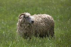 吃草在一个绿草领域的一只公公羊绵羊在加拿大 免版税库存照片