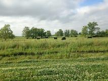 吃草在一个美丽的牧场地的母牛 库存图片