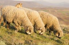 吃草在一个美好的领域的小组绵羊草 免版税库存图片