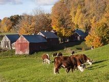 吃草在一个老佛蒙特农场的赫里福德母牛 免版税库存照片