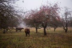 吃草在一个老果树园的母牛 免版税库存照片